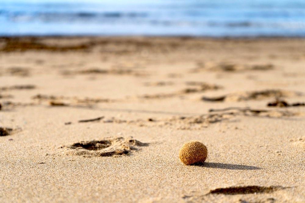 Pillae marinae sulla spiaggia di Rimigliano, parco costiero a San Vincenzo