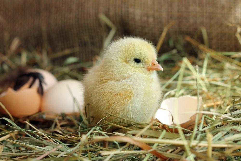 Piccolo pulcino appena nato