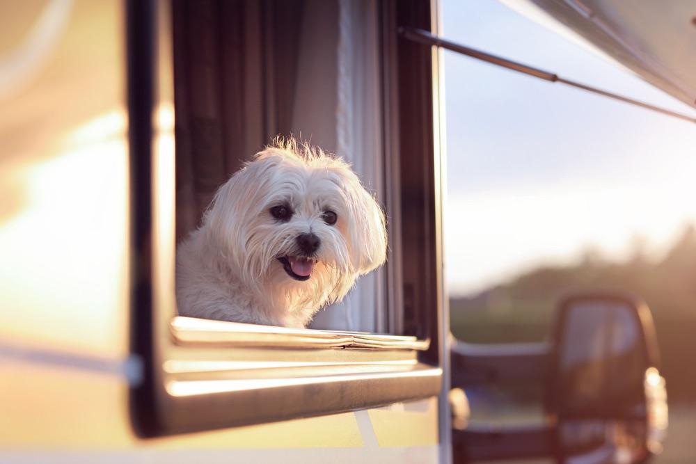 Cane maltese affacciato alla finestra del camper