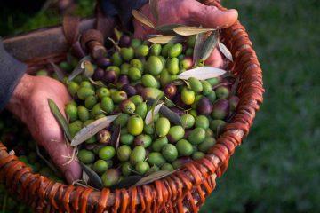 Agricoltore toscano mostra le olive raccolte in un cesto